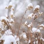Dry snow-covered plants — Stock Photo