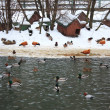 Ducks on winter pond — Stock Photo