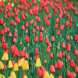 Red and yellow tulips field — Stock Photo