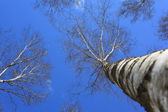 Top of birches — Stock Photo