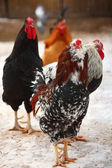 Hens in winter — Stock Photo