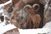 Bighorn sheep ram in zoo — Stock Photo