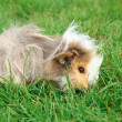 Guinea pig on grass — Stock Photo