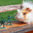 Guinea pig resists to toy soldier - Stock Photo