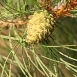 Pine cone — Stock Photo #7433508