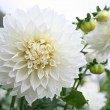 White dahlia — Stock Photo