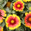 Gaillardia aristata — Stock Photo
