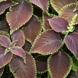 Coleus blumei - Stock Photo