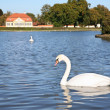 Swan in Pond — Stockfoto