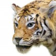The tiger — Stock Photo #7436709