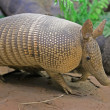 Armadillo - Stock Photo