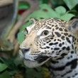 Leopard — Stock Photo #7436726