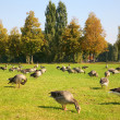Flock of ducks on to the meadow — Stock Photo #7436729