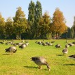 Flock of ducks on to the meadow - Stock Photo