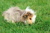Guinea pig on grass — Stock Photo