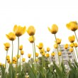 Field of tulips in city — Stock Photo