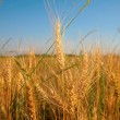 Wheaten field — Stock Photo #7445847