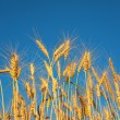 Ears of wheat against background of sky — Foto Stock
