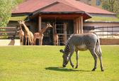 斑马和长颈鹿在莫斯科动物园 — 图库照片