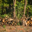 Chopped firewood under trees — Stok Fotoğraf #7450026