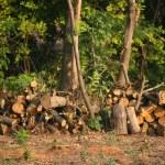 Chopped firewood under trees — Stock Photo