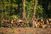 Chopped firewood under trees — Stok fotoğraf