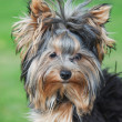 Portrait yorkshire terrier - Stock Photo