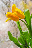Yellow tulips at the window — Stock Photo