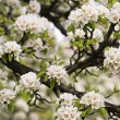 Stock Photo: Pear bloom