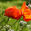 Poppy — Stock Photo #7569431