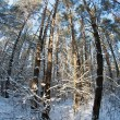 Winter forest — Stock Photo #7713279