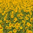 Sunflower — Stock Photo #7761612