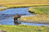 Le bevande di bisonte — Foto Stock