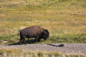 The huge bison — Stock Photo
