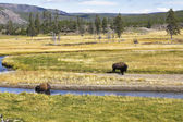 Two huge bisons — Stock Photo