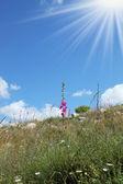 Ultime fiori rosa ed erba secca — Foto Stock