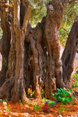 In Gethsemane Garden in Jerusalem. — Stock Photo