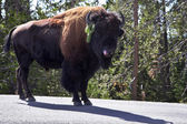 Bison on road in Yellowstone national park — Stock Photo
