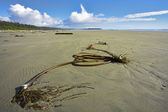 Seaweed on island Vancouver — Stock Photo