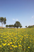 Scenic hills, buttercups and olive trees — Stock Photo