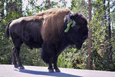 Bison on road i — Stock Photo