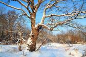 Oak in sneeuw — Stockfoto