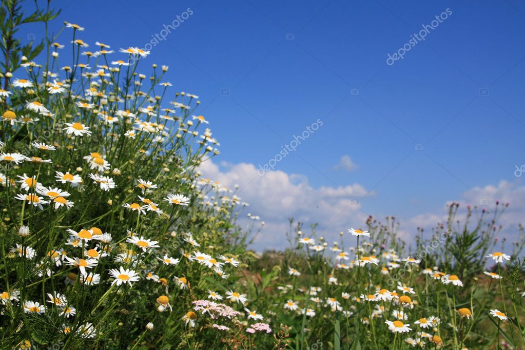 Daisywheels on field — Stock Photo #6837374