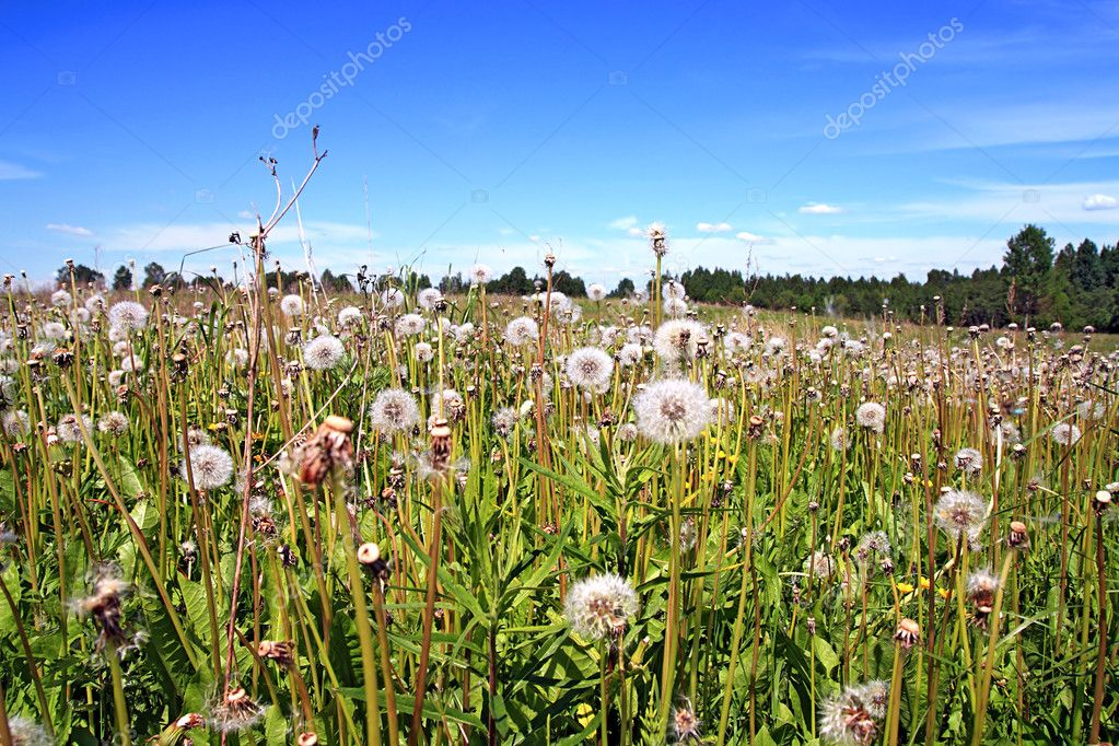 Dandelions on field  — Stock Photo #6837677