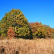 Oak copse on autumn field — Stock Photo