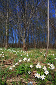 White snowdrops in spring wood — Stock Photo