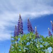 Blue lupines on celestial background — Stock Photo #6896013