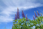 Blue lupines on celestial background — Stock Photo
