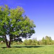Green oak on summer field — Stock Photo