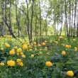 Globe-flower in summer birch wood — Stockfoto #6903504